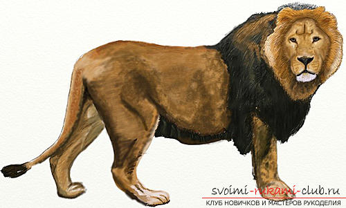 Drawing in several stages of the lion. Photo №6