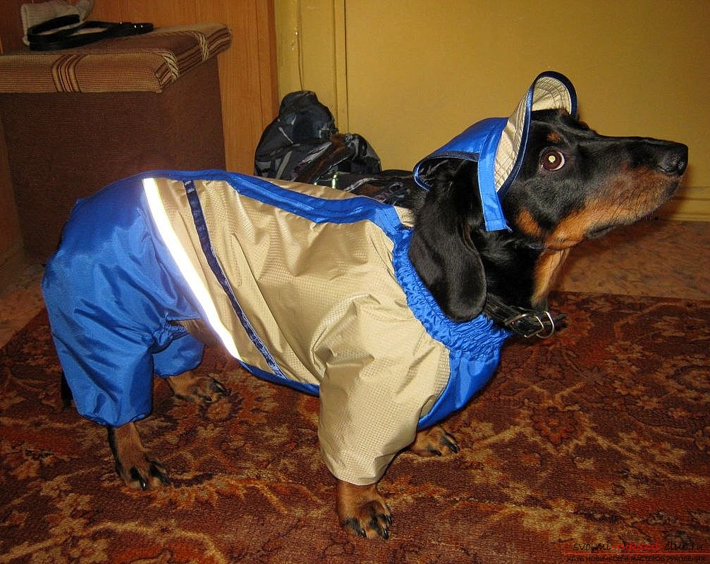 photo of overalls with a hood for a dachshund. Photo # 2