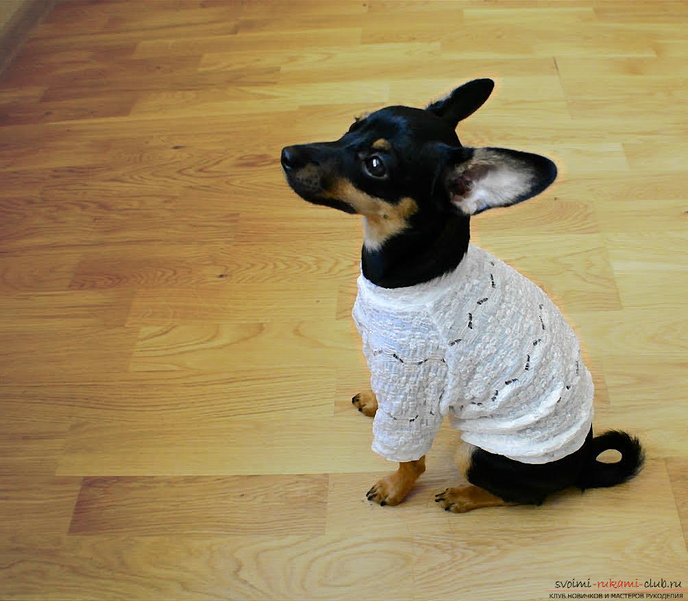 Pattern of panties and blouses for the toy terrier. Photo №1