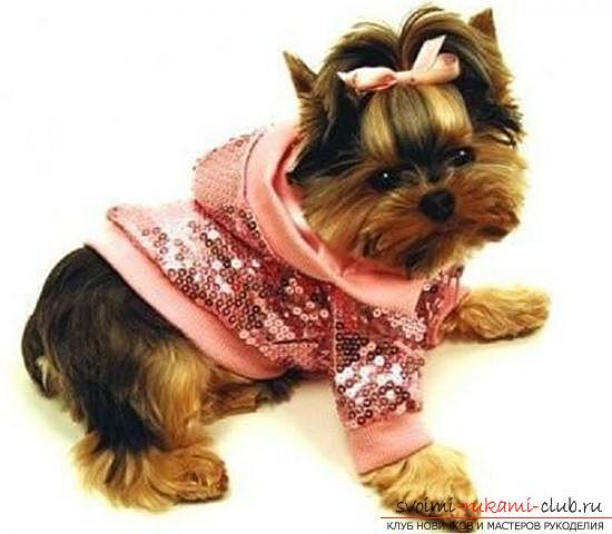 Warm clothes for Yorkies with their own hands. Photo №1