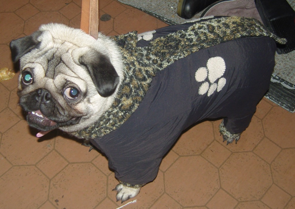 A comfortable pug suit with your own hands. Photo Number 19
