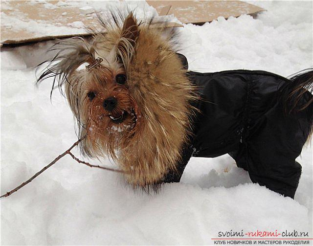 Warm clothes for Yorkies with their own hands. Photo №6