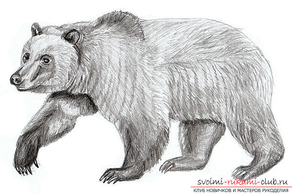 Step-by-step drawing of a bear in a realistic style. Photo №6