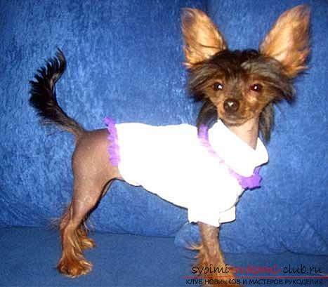 Patterns of clothing for the Chihuahua with their own hands with a description. Photo №1