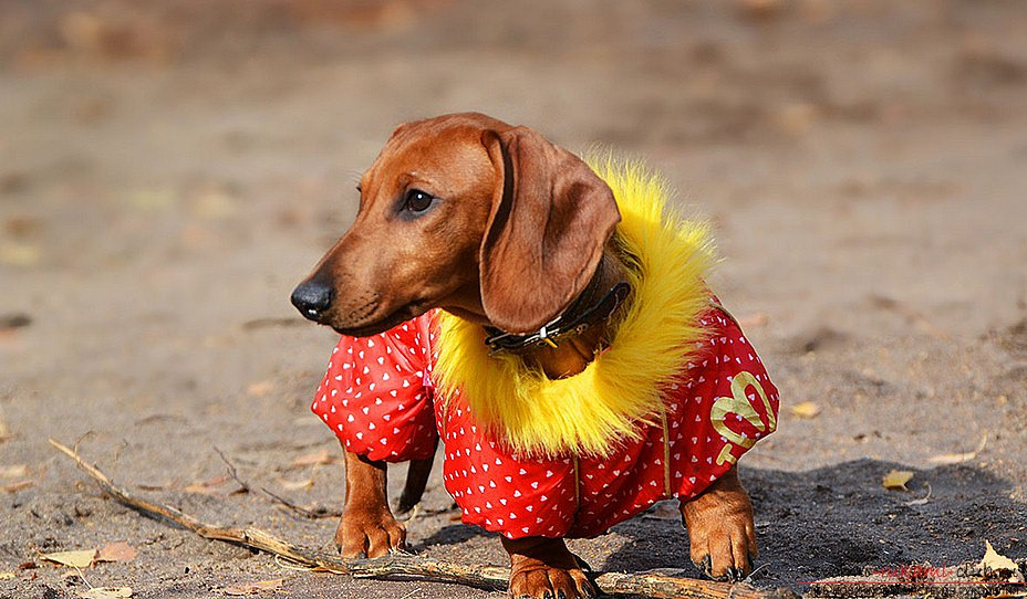A simple piece of clothing and patterns for the dachshund of men's sweaters. Photo №4