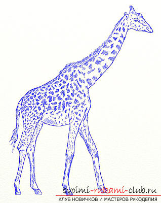 Step by step drawing the giraffe in pencil. Photo №6