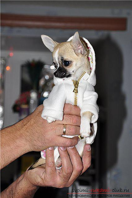 Patterns of clothing for the Chihuahua with their own hands with a description. Picture №3