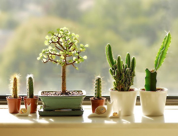 How to decorate a window sill with indoor plants: cacti