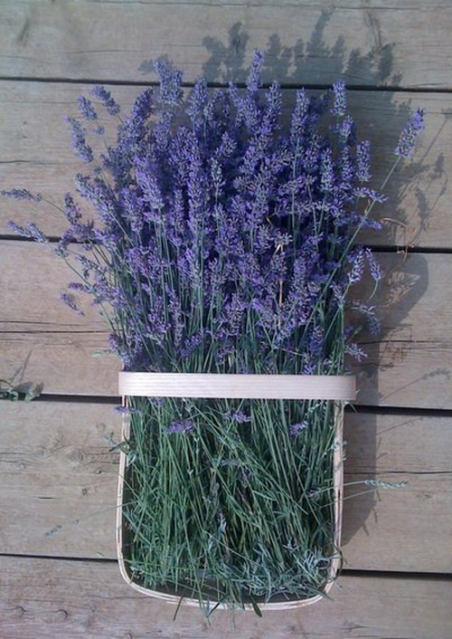 The wall-mounted composition of lavender flowers for decoration looks like a living
